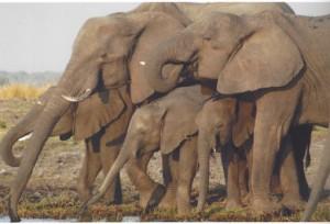 Elephants at a waterhole in southern Africa. Photo: Jeffrey R. Koseff